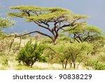 Small photo of Acacia (Acacia tortilis)