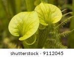 sarracenia flava  the yellow... | Shutterstock . vector #9112045