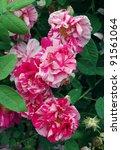 stripped flowers of rosa mundi   Shutterstock . vector #91561064