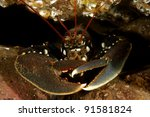 Common European Lobster - stock photo