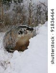 Small photo of North American badger in snow