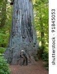California Coastal Redwood Tre...