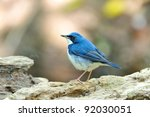 Bird  Siberian Blue Robin   ...