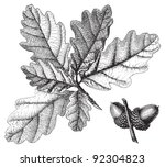 downy oak  quercus pubescens    ... | Shutterstock .eps vector #92304823