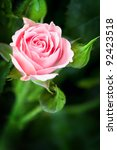 Stock photo beautiful pink rose in a garden 92423518