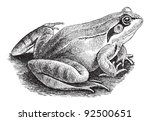 amphibian,ancient,animal,antique,artwork,black,common,drawing,drawn,eco,ecology,engraved,engraving,etching,europe