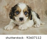 sweet cavachon puppy that is... | Shutterstock . vector #92607112