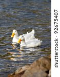 Two White Mallard Ducks Swim...