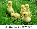 Cute Little Ducklings Walking...