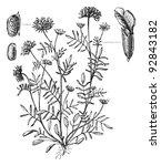 woundwort  anthyllis vulneraria ... | Shutterstock .eps vector #92843182