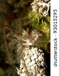 Small photo of Soft Coral Spider Crab (Achaeus spinosus)
