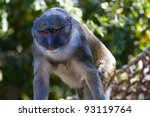 Small photo of Allen's Swamp Monkey in captivity