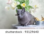 Russian Blue Cat On Table With...