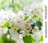 Apple Blossoms In Spring On...