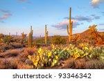 Late Light Illuminates Saguaro...