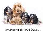 Stock photo family english cocker spaniel dogs in front of a white background 93560689