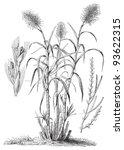 sugarcane  saccharum... | Shutterstock .eps vector #93622315