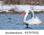 dalmatian pelican in winter ... | Shutterstock . vector #93797053