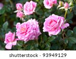 Stock photo rose garden 93949129