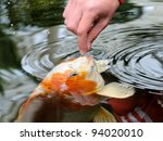 Feeding Koi Carp By Hand ...