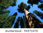 Giant Sequoia Tree Rise Agains...