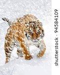 Beautiful Wild Siberian Tiger...
