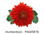 Red Autumn Chrysanthemum...