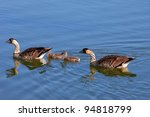 Family Of Four Nene Geese Swim...