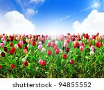 Colorful Field Of Tulips And...