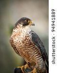 Birds Predator - Peregrine Falcon (Falco peregrinus) - stock photo