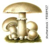 "Small photo of Edible mushroom Champignon (Agaricus campestris). Publication of the book ""Meyers Konversations-Lexikon"", Volume 7, Leipzig, Germany, 1910"