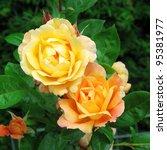 Stock photo rose southampton 95381977