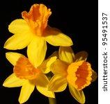 Three Yellow Daffodils Isolate...