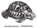 spur thighed tortoise or greek...