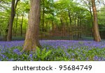 A Carpet Of Bluebells At The...