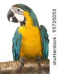 Blue and Gold Macaw perched on a white background. - stock photo