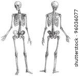 Human Skeleton  Male    Vintag...