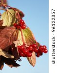 The Branch With Ripe Berries O...