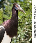 Small photo of Abdim's Stork, Ciconia abdimii