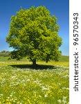 Single Beech Tree At Spring