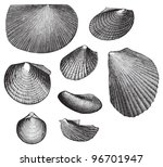 Fossil Shell  Triassic Period ...