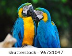 Blue And Yelow Macaw Love Bird