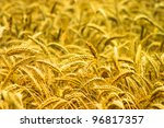 Field of yellow corn plants in summer - stock photo