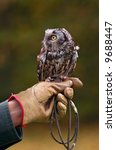 Small photo of Boreal Owl (Aegolius funereus) On Handler's Fist - captive bird
