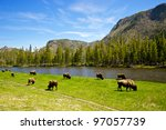 A Small Herd Of Yellowstone...