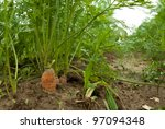 ground perspective shoot of few carrots growing on the field - stock photo