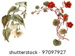 abutilon  left  and tropaeolum... | Shutterstock . vector #97097927