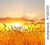 ripe wheat at sunset. | Shutterstock . vector #97187255