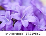 Campanula Blue A Close Up