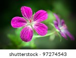 Geranium palustre flower, commonly know as Marsh cranesbill - stock photo